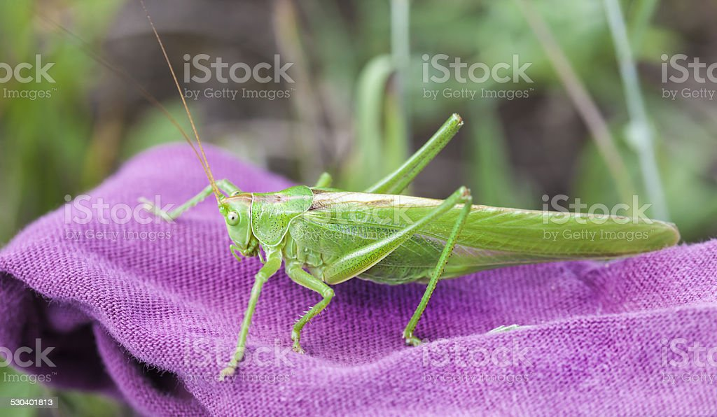 Mantis.. stock photo
