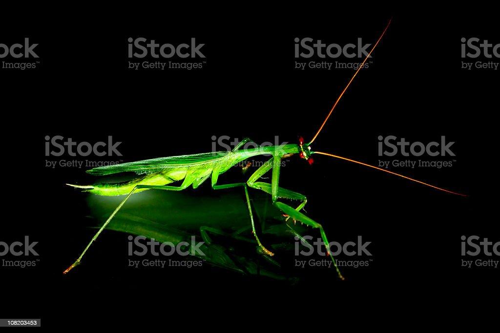Mantis religiosa royalty-free stock photo