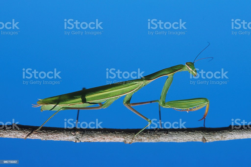 Mantis religious on a branch, blue sky background, side view royalty-free stock photo