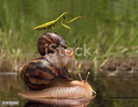 closeup mantis riding on snails and indicates the direction. wildlife humor