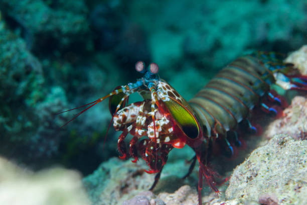 Mantis shrimp close-up. Sipadan island. Celebes sea. Malaysia. stock photo