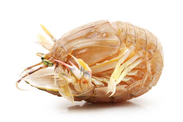 fangschreckenkrebse auf weißem hintergrund - wirbellose tiere stock-fotos und bilder
