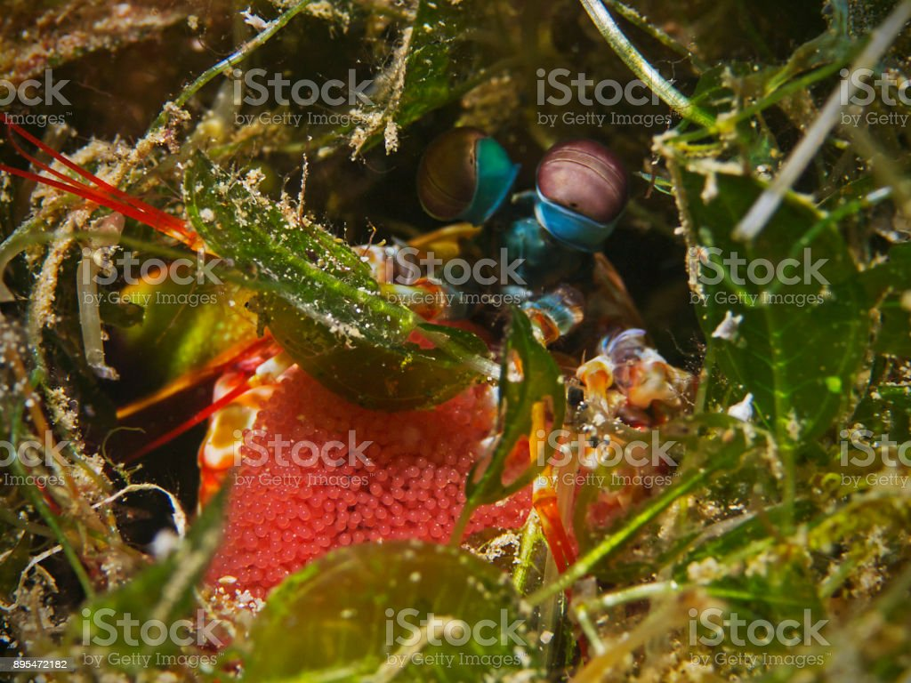 Mantis shrimp with eggs, Fangschreckenkrebs mit Gelege (Odontodactylus scyllarus) stock photo