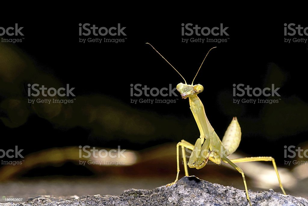 Mantis with nice pink background color royalty-free stock photo