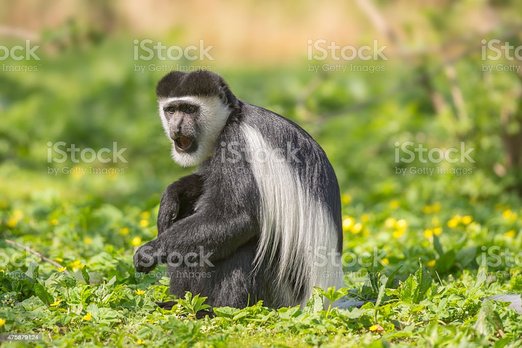 Mantled guereza also know as the black-and-white colobus monkey stock photo