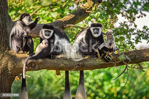 Troop of Mantled guereza monkeys (Colobus guereza) plays with two newborns