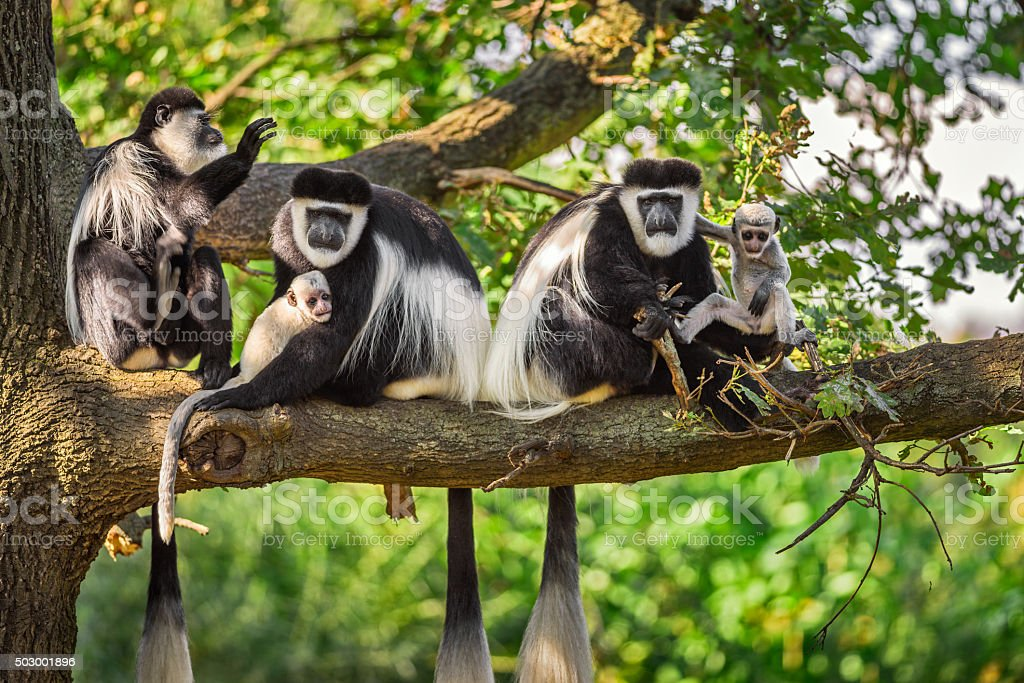 Mantled guereza monkeys stock photo