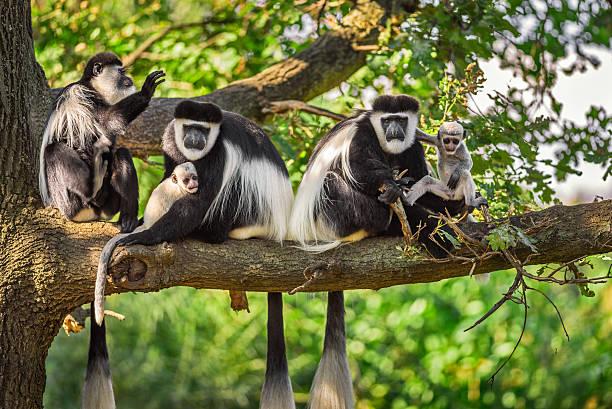 Mantled guereza monkeys stock photo
