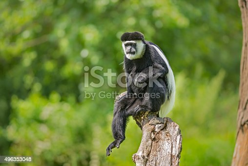 Mantled guereza (Colobus guereza) also know as the black-and-white colobus monkey