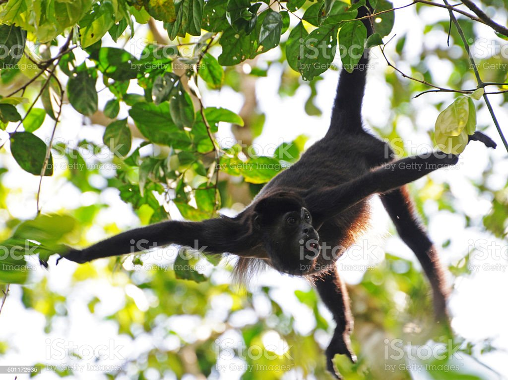 mantled howler monkey  Alouatta palliata stock photo