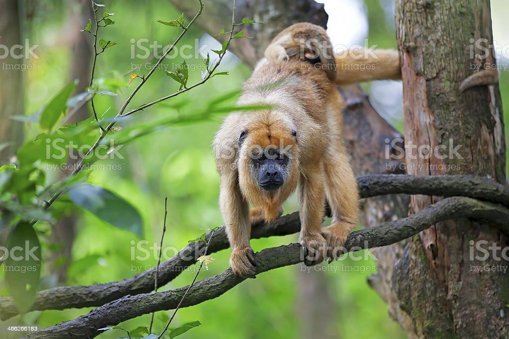 Macaco-uivador - foto de acervo