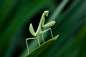 Mantodea in nature is on a green leaf.