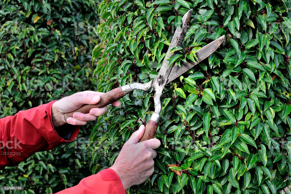 Manual hedge trimming stock photo
