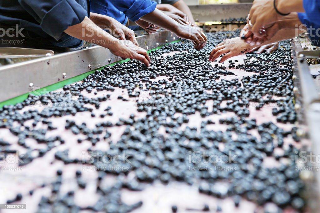 Manual laborers hand sorting grapes at winery stock photo