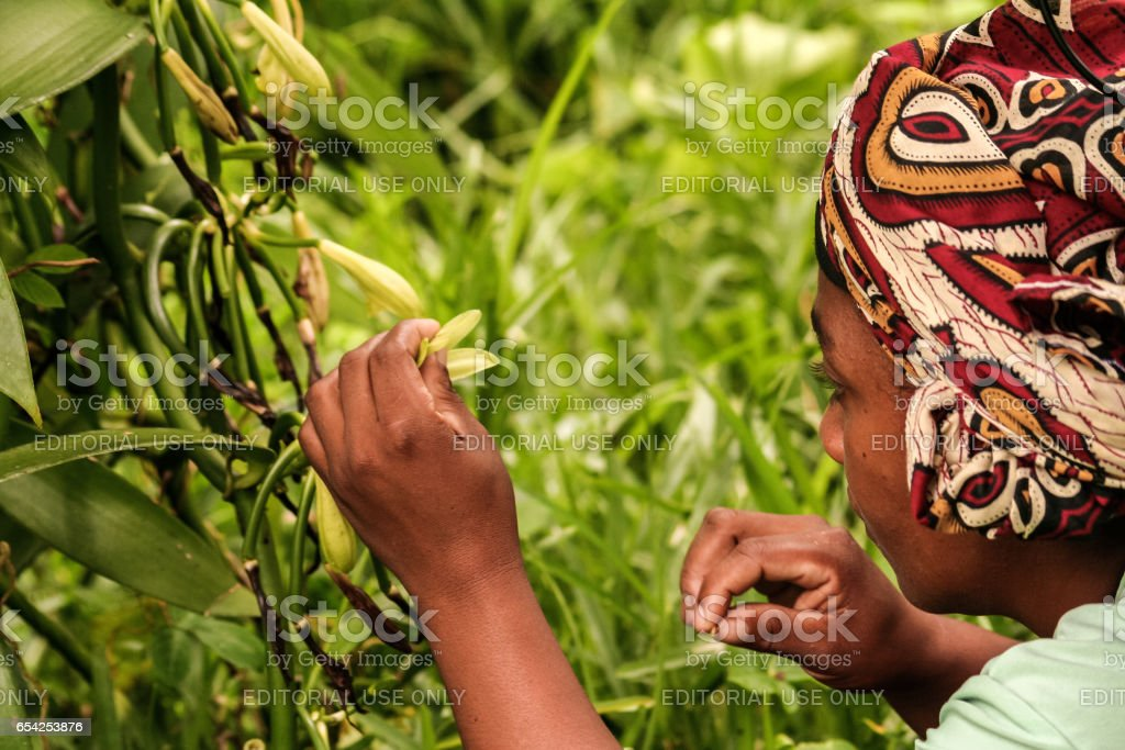 Manual pollination of vanilla stock photo