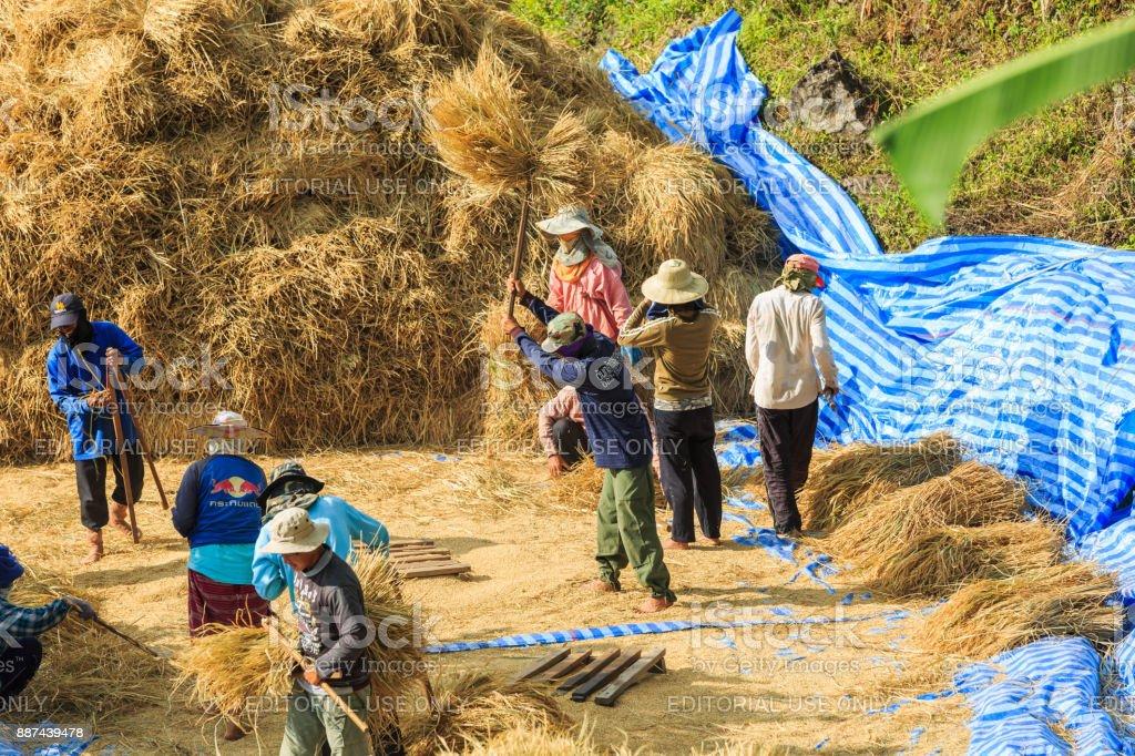 Manual rice threshing stock photo