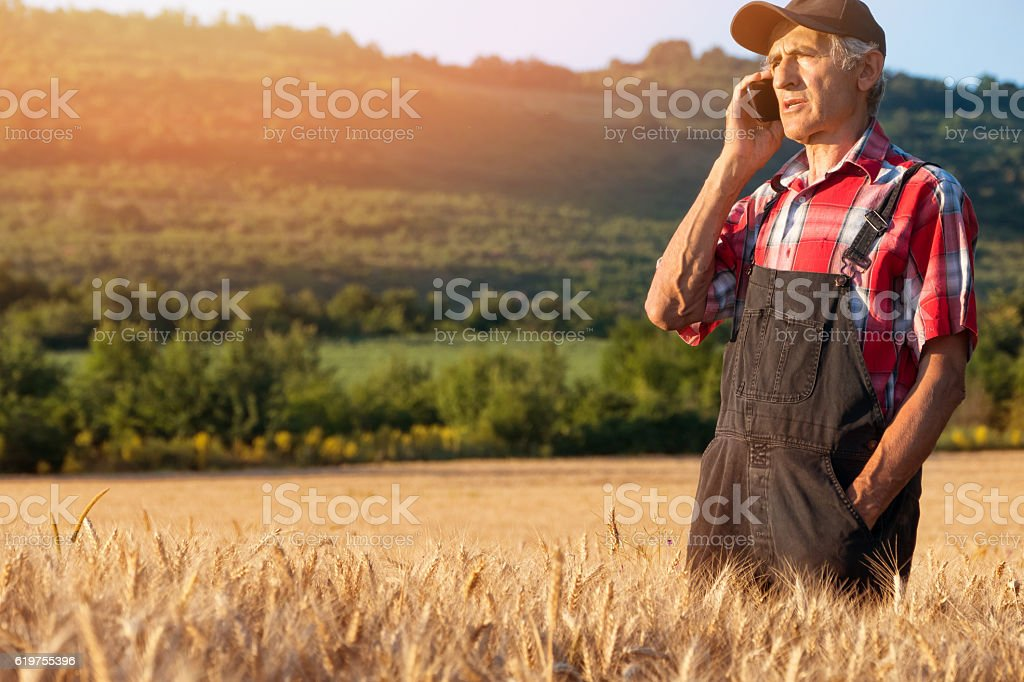 Manual worker using phone in the middle of wheat field stock photo