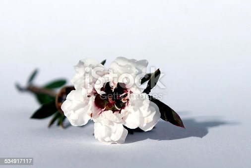 A Manuka or New Zealand TeaTree flower on a white background.