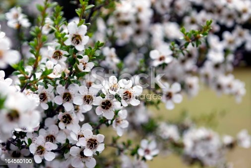 The Manuka flower in bloom on a Tea Tree in soft focus.