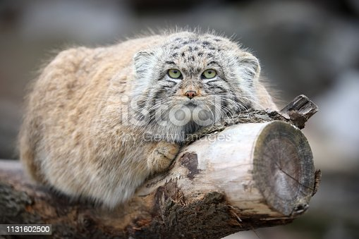Manul in ZOO