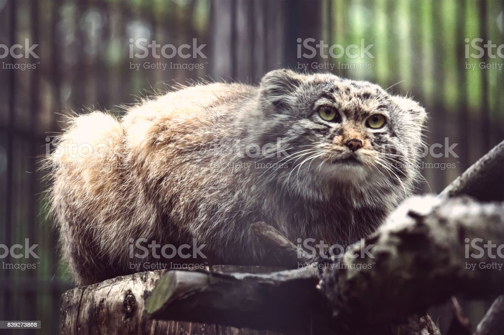 manul the asian wild cat close up photo stock photo