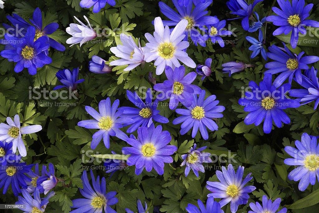 Many anemones royalty-free stock photo