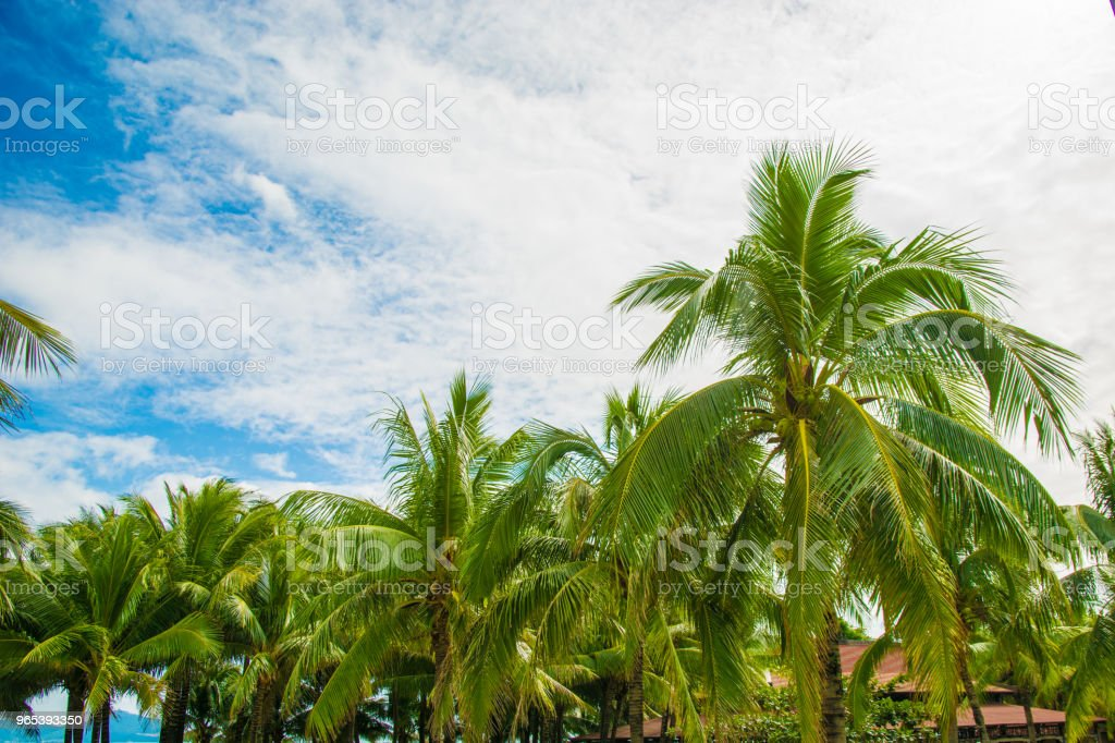 many beautiful high Palm trees grow near, aleya palms, tropical island and beautiful trees grow to the sky. Asia - Zbiór zdjęć royalty-free (Azja)