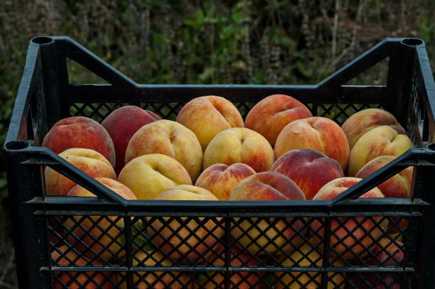 Many beautiful peach or Prunus persica advisable in black  crate Many beautiful peach or Prunus persica advisable in black  crate, Zavet, Bulgaria advisable stock pictures, royalty-free photos & images