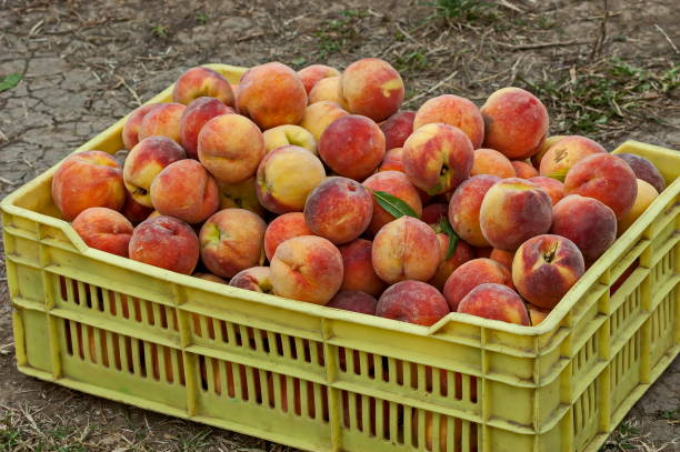 Many beautiful peach or Prunus persica advisable in yellow crate Many beautiful peach or Prunus persica advisable in yellow crate, Zavet, Bulgaria advisable stock pictures, royalty-free photos & images