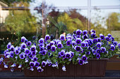 Many beautiful purple and blue pansies in the garden