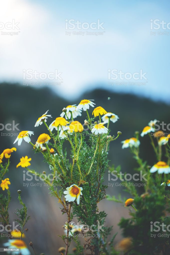 many beautiful tall meadow wild yellow flowers on natural blue green background in field. Outdoor spring fresh mystery photo royalty-free stock photo