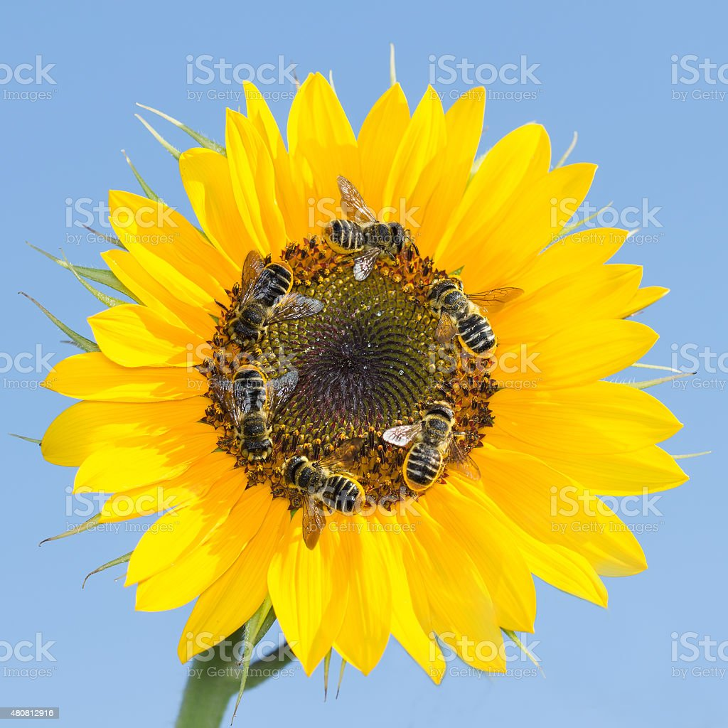 many bees collecting nectar on a sunflower against the sky stock photo