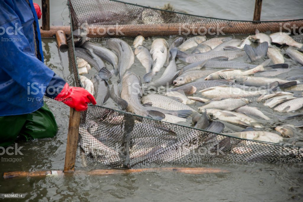 Many big fish were caught on the fishing grounds by workers. stock photo