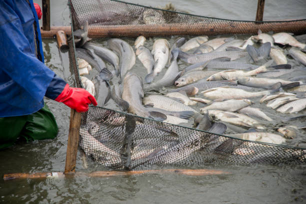 Many big fish were caught on the fishing grounds by workers. Many big fish were caught on the fishing grounds by workers. fishing net stock pictures, royalty-free photos & images