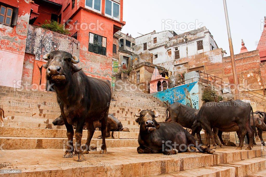 Many black buffalos have rest on the streets stock photo