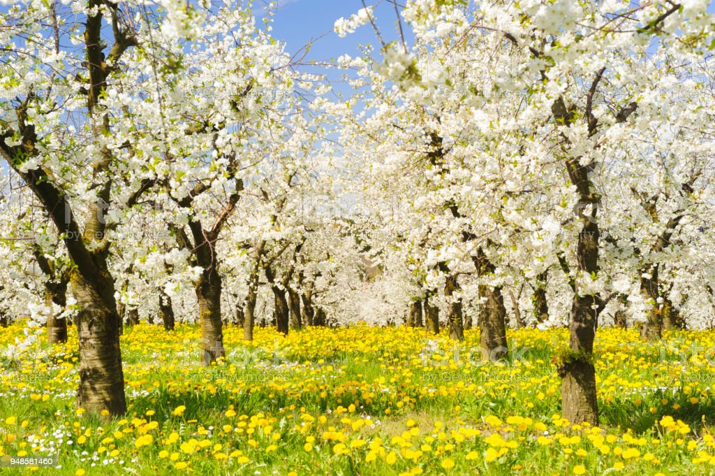 Many blooming apple trees in row on field with spring flowers stock photo