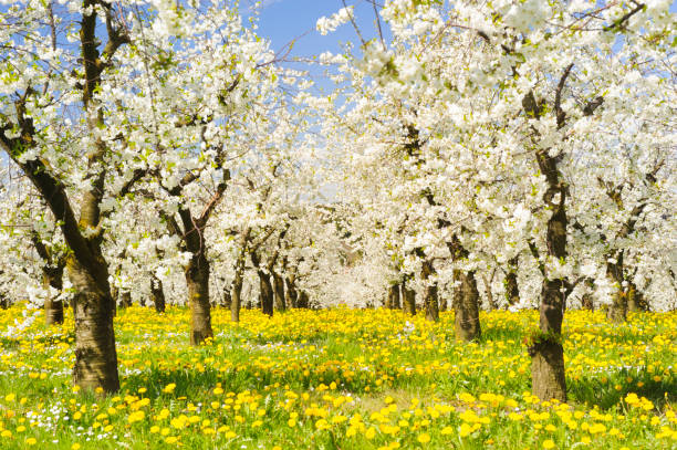 Many blooming apple trees in row on field with spring flowers Many blooming apple trees in row on field with spring flowers apple orchard stock pictures, royalty-free photos & images