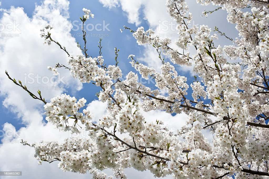 Many blooming white cherry blossoms in tree under pretty sky royalty-free stock photo