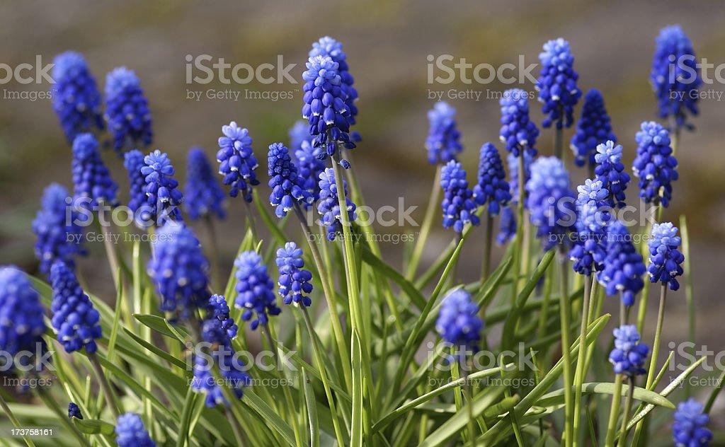 Many blue grape hyacinths stock photo
