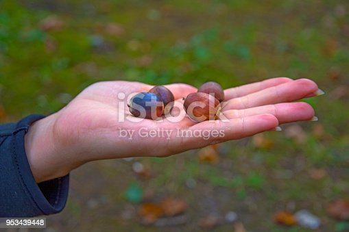 istock many bright acorns lie on hand, acorns on your hands. 953439448
