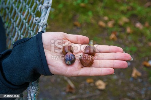 istock many bright acorns lie on hand, acorns on your hands. 954554106
