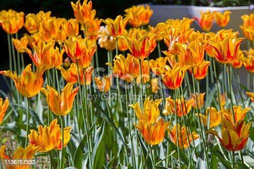 istock Many bright multi-colored tulips 1136757332