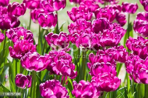 istock Many bright multi-colored tulips 1136757336