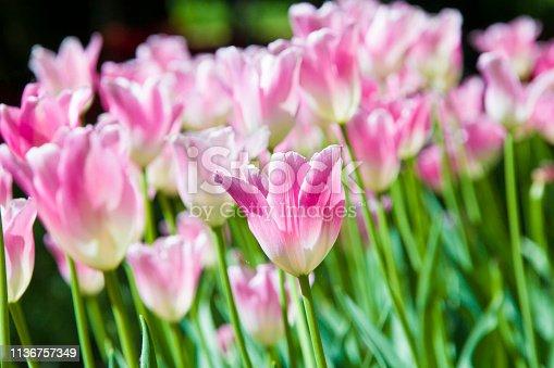 istock Many bright multi-colored tulips 1136757349