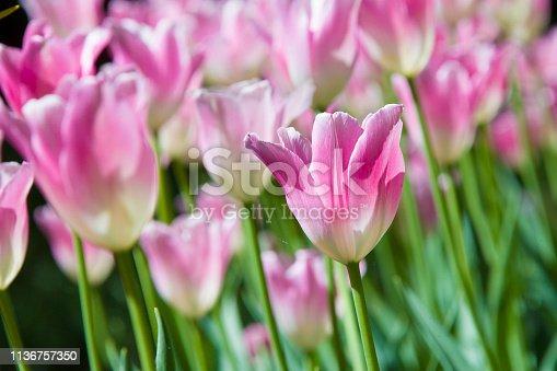 istock Many bright multi-colored tulips 1136757350