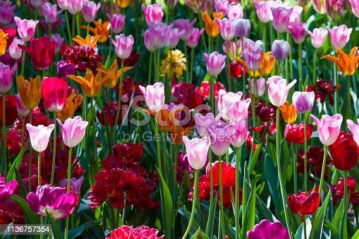 istock Many bright multi-colored tulips 1136757354