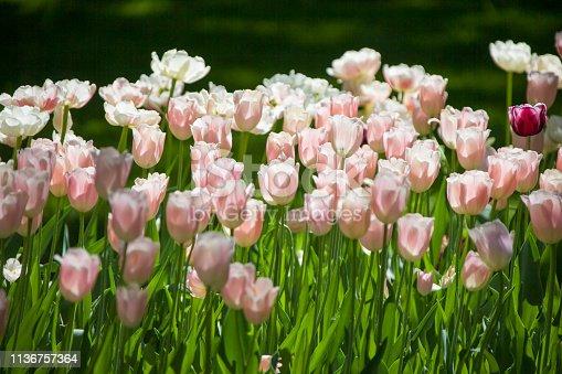 istock Many bright multi-colored tulips 1136757364