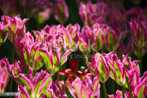 istock Many bright multi-colored tulips 1136757372