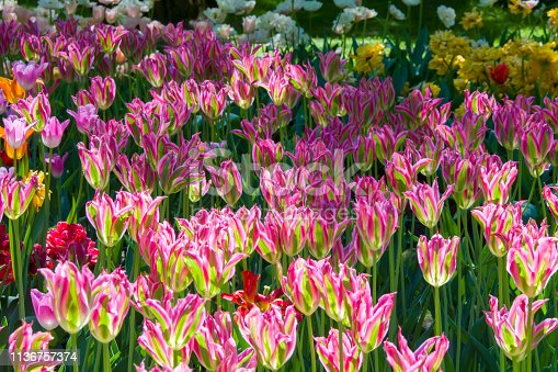 istock Many bright multi-colored tulips 1136757374