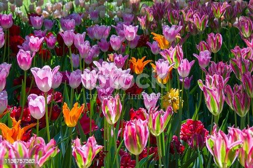 istock Many bright multi-colored tulips 1136757382